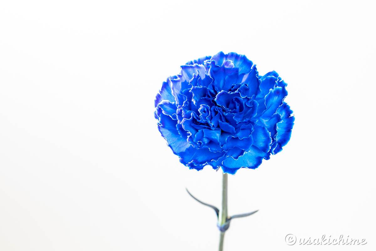 カーネーション(青)