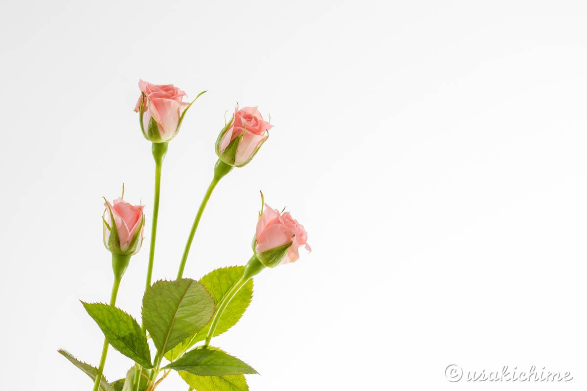 バラ(ピンク)
